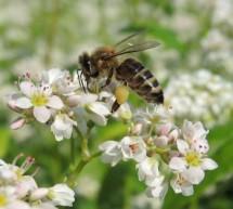 Čebele in opraševanje